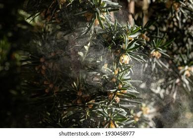 Bild mit Pollen von Baum im Frühling, Allergie