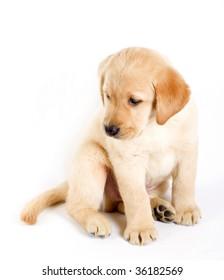 picture of a puppy labrador retriever over white background