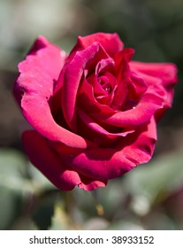 Picture of a red Hybrid Tea Rose in the Royal Botanical Gardens, Burlington, Ontario, Canada