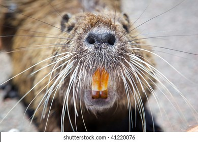 Picture rodent close. The nose, whiskers and teeth.