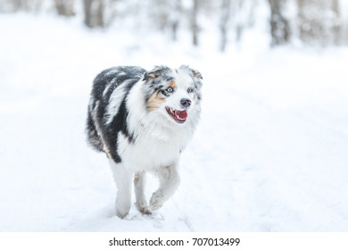 A picture of running australian shepherd during winter. He really enjoys this.