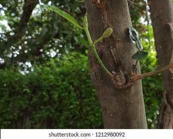 picture of a rusty nail embedded in the trunk of jackfruit tree with bokeh background