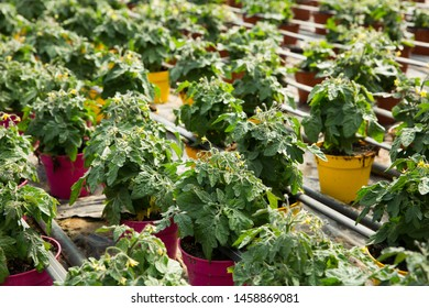 Picture of seedlings of tomatoes growing in pots in hothouse, nobody