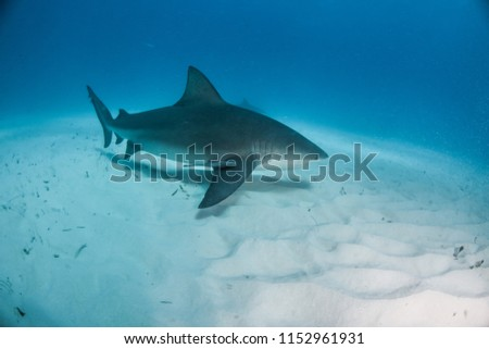 Picture Shows Bulls Shark Bahamas Stock Photo (Edit Now
