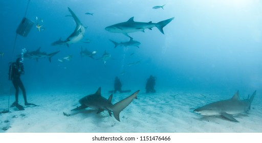 Picture shows Lemon and Caribbean reef shark at the Bahamas
