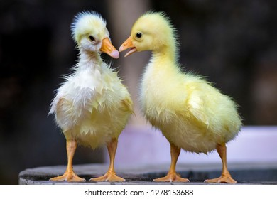 The picture shows two Goslings. A Gosling is a baby Goose. They are covered with soft, fluffy down feathers and unable to fly.