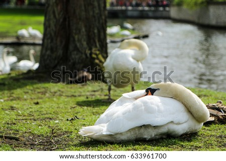 The Sleeping Swans >> Picture Sleeping Swan By Water Channel Stock Photo Edit Now