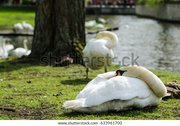 The Sleeping Swans >> Picture Sleeping Swan By Water Channel Stock Photo Edit Now 633961700
