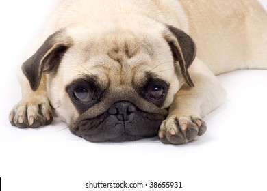 picture of a sleepy pug with sad eyes on a white background