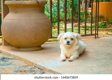 Picture of a small Bichon Frisé puppy looking at the camera while laying down outside on the patio concrete door