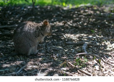 Picture of small cute wildlife domestic animal Quokka baby in her mum pouch at isolated Rottnest Island tourist destination in Perth WA, Australia