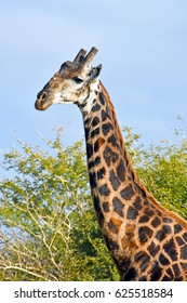 Picture a Southern giraffe in Madikwe game reserve, South Africa.