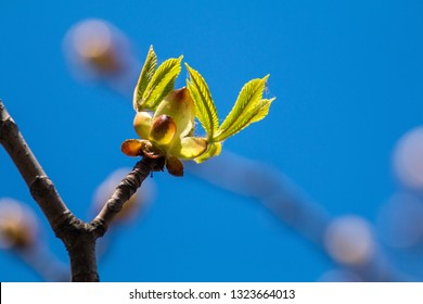 Picture of spring flowering chestnut tree, dry branches with buds of chestnut leaves and bark of trees against the blue sky, photografy close-up