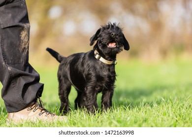 picture of a standard schnauzer puppy who sits beside a person and yelps