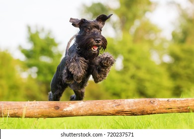 Picture of a standard schnauzer who jumps over a wooden beam