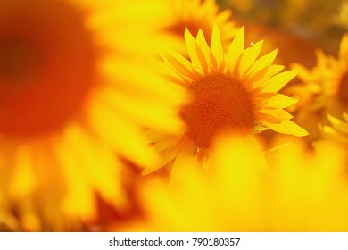 picture of a sunflower field in evening backlight
