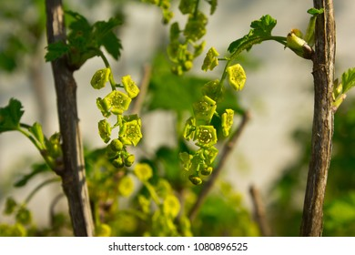 The picture was taken in the evening. Inflorescences hang from the branches of the bush.
