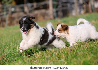 picture of two cute Elo puppies are running on the meadow