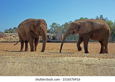 Picture of two elephants, one Asian elephant and an African elephant