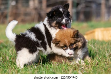 picture of two Elo puppies who are playing on the meadow
