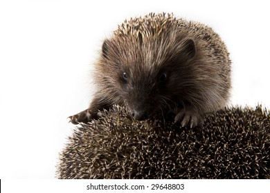 Picture of two hedgehogs on a white background