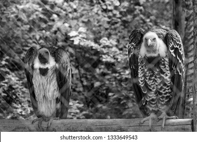 Picture of two vultures standing still behind fences on a cage.