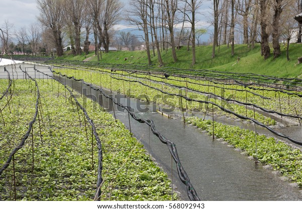 In the picture we can see a cultivation of fresh wasabi vegetables in japan. On the background big trees and a clear bright sky can be seen in the picture.