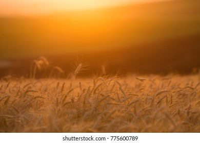 "A picture of wheat taken at ""golden hour"", back-lit by the sun"