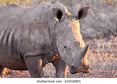 Picture of a white rhinoceros in Madikwe game reserve, South Africa.