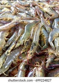 Picture of white shrimp. The animal economy. fresh shrimp. Selected shrimps for export.
