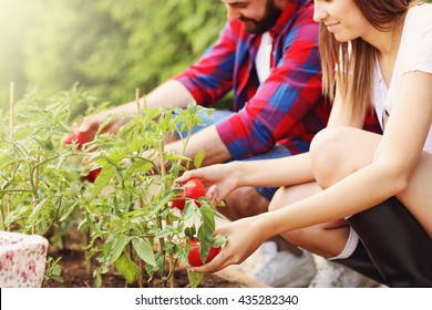Picture of young couple planting organic tomatoes