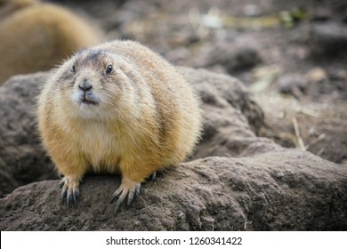 Picture of young gopher in the zoo sitting and eating on the stone