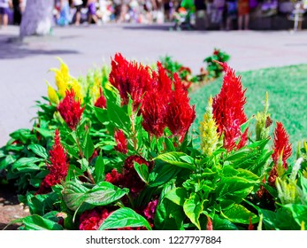 pictured in the photo Beautiful yellow and red cockscomb flowers on a blue sky background.