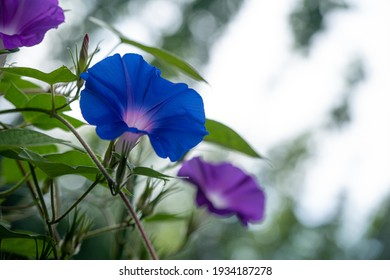 Pictures of Blue Morning glories with a forest background.