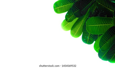 The pictures of olive pattern trees and green leaves are rich in nature, complete on White Blackground.