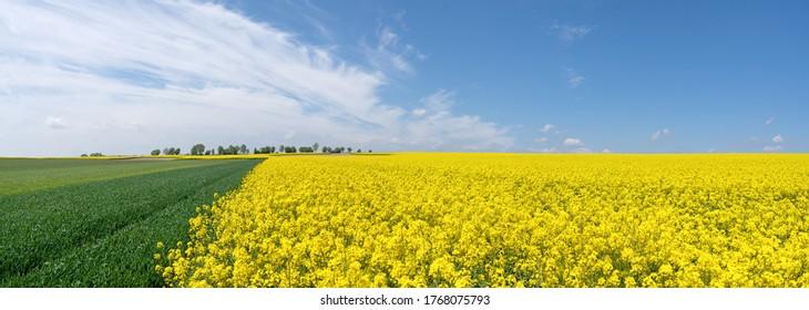 Malerische landwirtschaftliche Felder im Frühling mit blühenden Raps und jungen grünen Getreidepflanzen