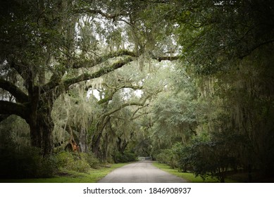 Picturesque arbor of live oak trees overgrown with Spanish moss arching over a narrow pathway