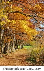 picturesque autumnal walkway in the beech wood