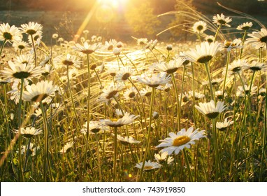 Picturesque camomile meadow lit by sunlight