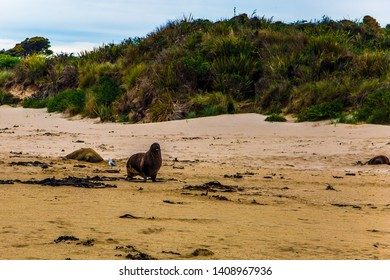 Picturesque Cannibal Bay. Huge sea lions resting on the sand. New Zealand. The picturesque Pacific coast of the South Island. The concept of ecological, active and phototourism