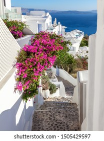 Picturesque flowering stairs with pink blooming bougainvillea leading to the sea, Santorini, Greece. Typical white house and street in european island village Oia.