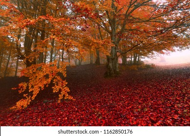 picturesque gold autumn dawn image, yellow red leaves on old beech trees in light morning fog, amazing autumn forest background, Carpathians, Ukraine, Europe mountains dawn landscape