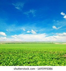 Picturesque green beet field and blue sky with light clouds. Agricultural landscape.