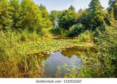 Picturesque image of a natural pond in the middle of a sunny day in the Dutch summer season. Many white water lilies bloom on the water.
