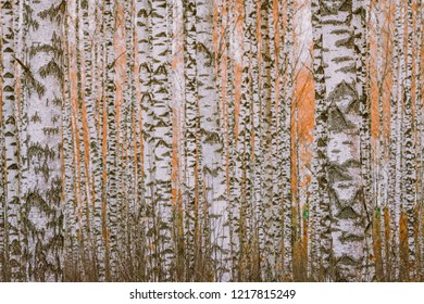Picturesque landscape of birch tree forest in autumn colors. White birch trees growing parallel to each other with orange leaves.
