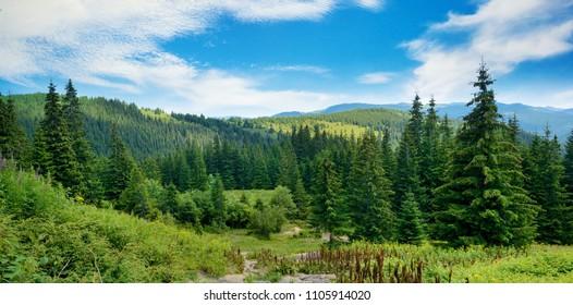 Picturesque landscape in Carpathians. Coniferous forest on background of mountains.