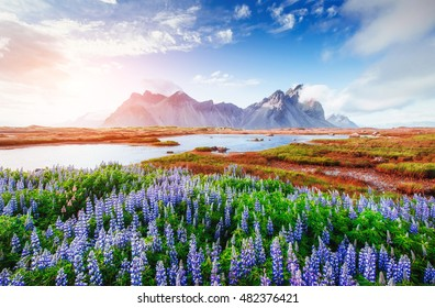 The picturesque landscapes of forests and mountains of Iceland. Wild blue lupine blooming in in summer.