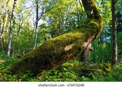 Picturesque log covered with moss among lush foliage in Belovezhskaya Pushcha National Park, Belarus.