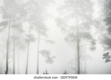 Picturesque monochrome scenery of the evergreen forest in a thick white fog at sunrise. Pine and fir trees close-up. Atmospheric autumn landscape. Fall season, ecology, environment, deforestation