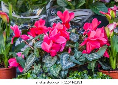 Picturesque multi-colored cyclamens are on sale in the flower market